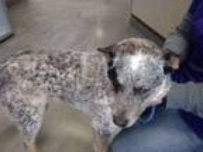 Adopt Deets a Australian Cattle Dog / Blue Heeler
