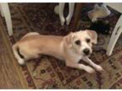 Adopt Alfie a Shih Tzu, Terrier