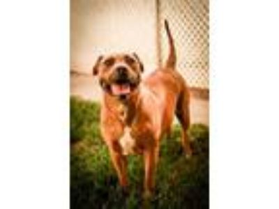 Adopt Clowee a Brindle American Pit Bull Terrier / Mastiff / Mixed dog in San