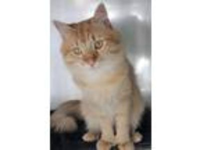 Adopt Forrest a Domestic Long Hair, Extra-Toes Cat / Hemingway Polydactyl