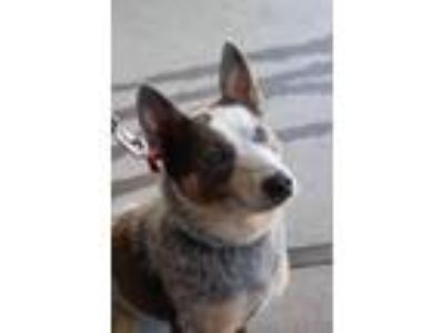 Adopt BUDDY (Heeler mix) a Australian Cattle Dog / Blue Heeler