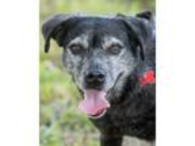 Adopt Corazon a Black Retriever (Unknown Type) / Mixed dog in Loxahatchee