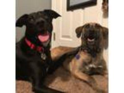 Adopt Coco a Black - with White Border Collie / Labrador Retriever / Mixed dog