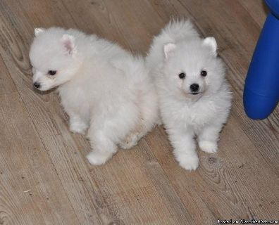 Home Raise Japanese Spitz Ready.