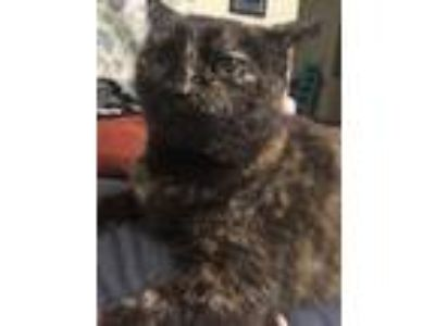Adopt Charlotte a Tortoiseshell Domestic Shorthair / Mixed cat in New Baltimore
