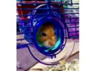 Adopt 1907-1576 Jelly Bean a Hamster small animal in Virginia Beach