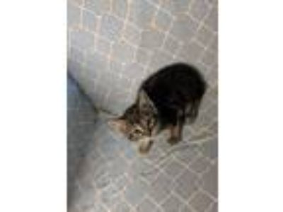 Adopt Brian a Domestic Short Hair