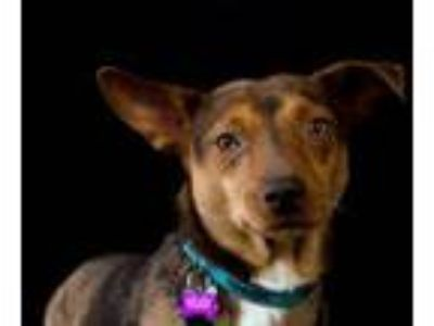 Adopt Dapper Dan a Australian Cattle Dog / Blue Heeler, Miniature Pinscher