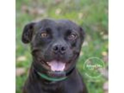 Adopt Joan Jett a Black Boxer / Mixed dog in Montgomery, AL (25275931)