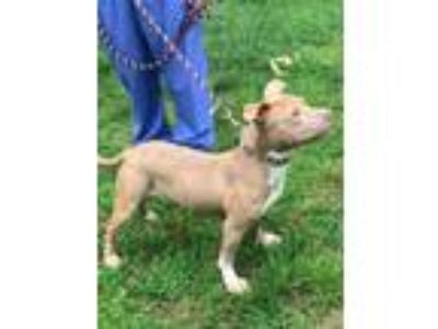 Adopt Mack a Pit Bull Terrier