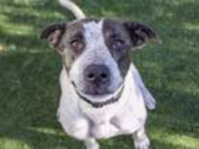 Adopt BELLA a Pointer, Mixed Breed