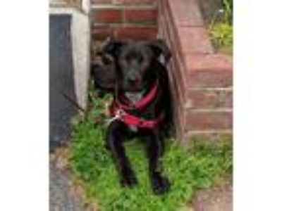 Adopt Asher a Black - with White Labrador Retriever / Mixed dog in Beacon