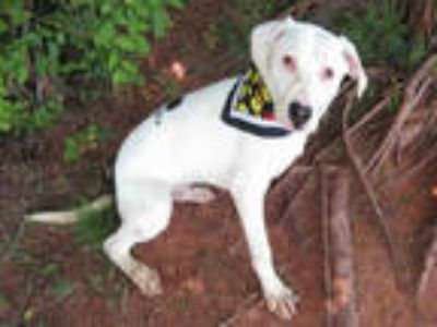 Adopt a White - with Black American Pit Bull Terrier / Mixed dog in Oklahoma