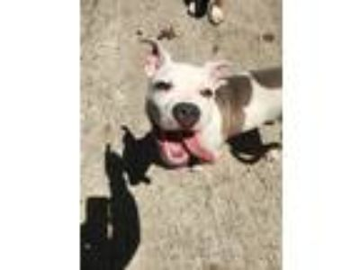 Adopt Val a Pit Bull Terrier