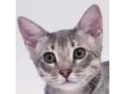 Adopt Flannel a Gray, Blue or Silver Tabby Domestic Shorthair (short coat) cat