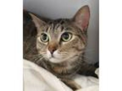 Adopt Evie a Domestic Shorthair / Mixed cat in San Diego, CA (25290395)