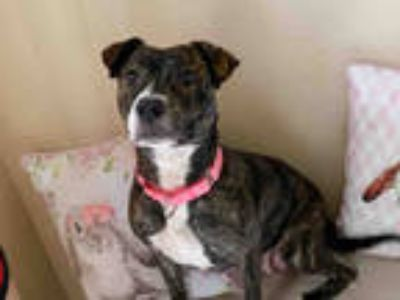 Adopt QUEEN a Brown/Chocolate - with White American Pit Bull Terrier / Mixed dog