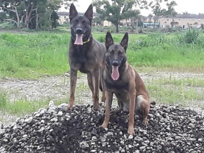 Belgian Malinois-Dutch Shepherd Dog Mix PUPPY FOR SALE ADN-113727 - Beautiful Family Oriented Dutch Shepherd puppies