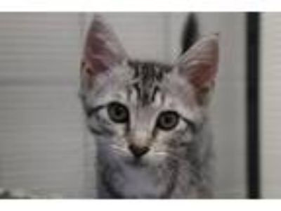 Adopt Ibis a Domestic Short Hair