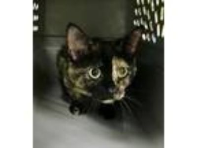 Adopt Payton a Domestic Short Hair