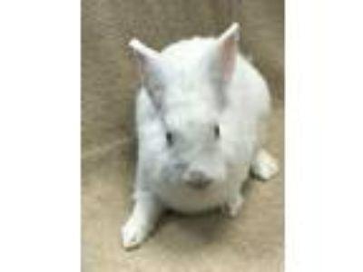 Adopt Tiki a Bunny Rabbit