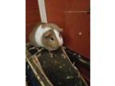 Adopt Cookie Dough a Golden Guinea Pig (short coat) small animal in Lancaster
