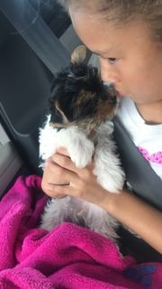 Yorkshire Terrier PUPPY FOR SALE ADN-100751 - AKC Parti Yorkie Puppies