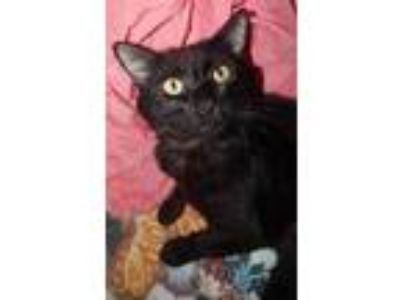 Adopt EARL - SIMPLY PUT, THE BEST! a All Black Bombay (short coat) cat in Plano