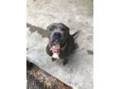 Adopt Jade a American Staffordshire Terrier, Pit Bull Terrier