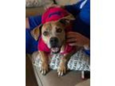 Adopt Star a Brown/Chocolate - with White Boxer / Pit Bull Terrier / Mixed dog