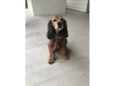 Adopt Daisy a Black - with Brown, Red, Golden, Orange or Chestnut Cocker Spaniel