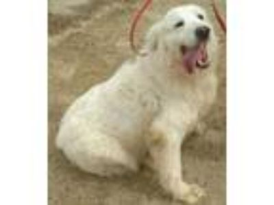Adopt Dixie II a Great Pyrenees