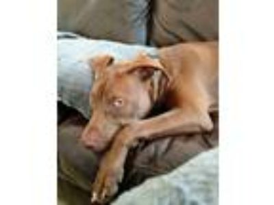Adopt Bella a Red/Golden/Orange/Chestnut - with Black American Pit Bull Terrier