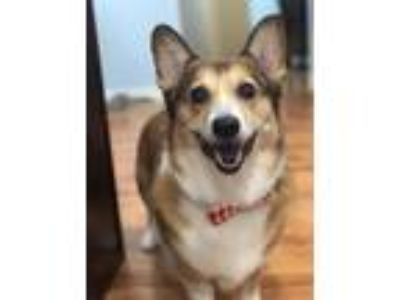 Adopt Gracie a Brown/Chocolate - with White Pembroke Welsh Corgi / Mixed dog in