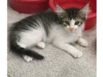 Adopt ZION a Domestic Medium Hair