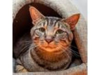 Adopt Cesar a Brown or Chocolate Domestic Shorthair cat in New York City