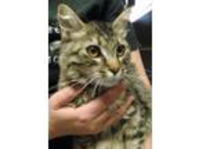 Adopt Kizzie a Gray, Blue or Silver Tabby Domestic Mediumhair (short coat) cat
