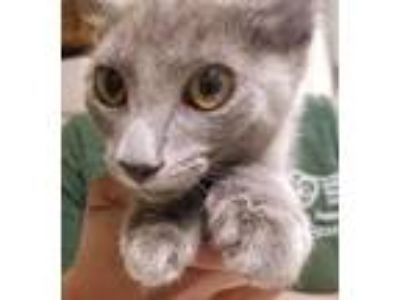 Adopt Sylvia a Gray or Blue Domestic Shorthair / Domestic Shorthair / Mixed cat