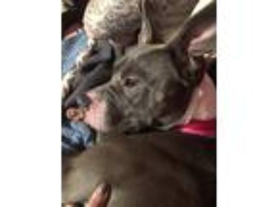 Adopt Freya a Gray/Silver/Salt & Pepper - with White American Pit Bull Terrier /