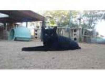 Adopt Simon a All Black Domestic Shorthair / Domestic Shorthair / Mixed cat in