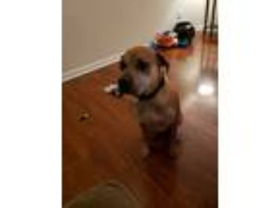 Adopt Chevy a Tan/Yellow/Fawn Boxer / Shar Pei / Mixed dog in Marietta