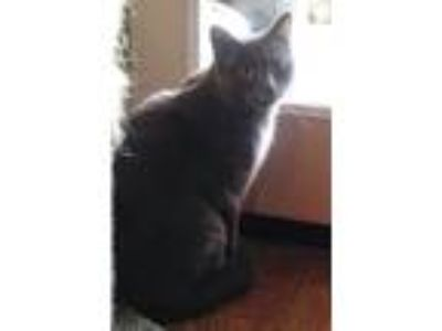 Adopt Shadow a Gray or Blue (Mostly) Domestic Shorthair (short coat) cat in