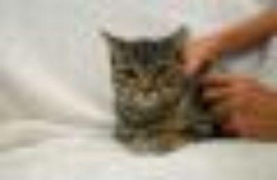 Arrow Domestic Short Hair Cat