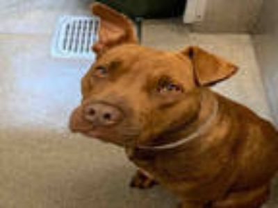 Adopt MILLER a Tan/Yellow/Fawn American Pit Bull Terrier / Mixed dog in Dallas