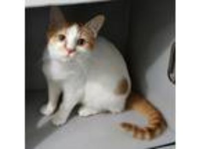 Adopt Simone a Orange or Red (Mostly) Domestic Shorthair / Mixed (short coat)