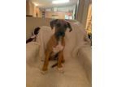 Adopt Lucy a Tan/Yellow/Fawn - with White Boxer / Hound (Unknown Type) / Mixed
