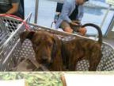 Adopt DIAMOND a Plott Hound, Mixed Breed