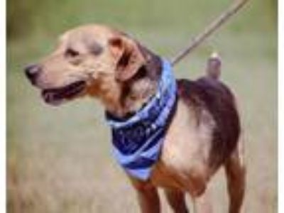 Adopt Hugo a Beagle