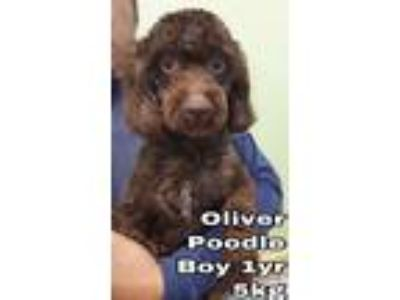 Adopt Oliver from Korea a Brown/Chocolate Poodle (Miniature) / Mixed dog in