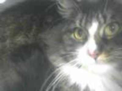 Adopt a Brown Tabby Domestic Longhair / Mixed (long coat) cat in Martinez